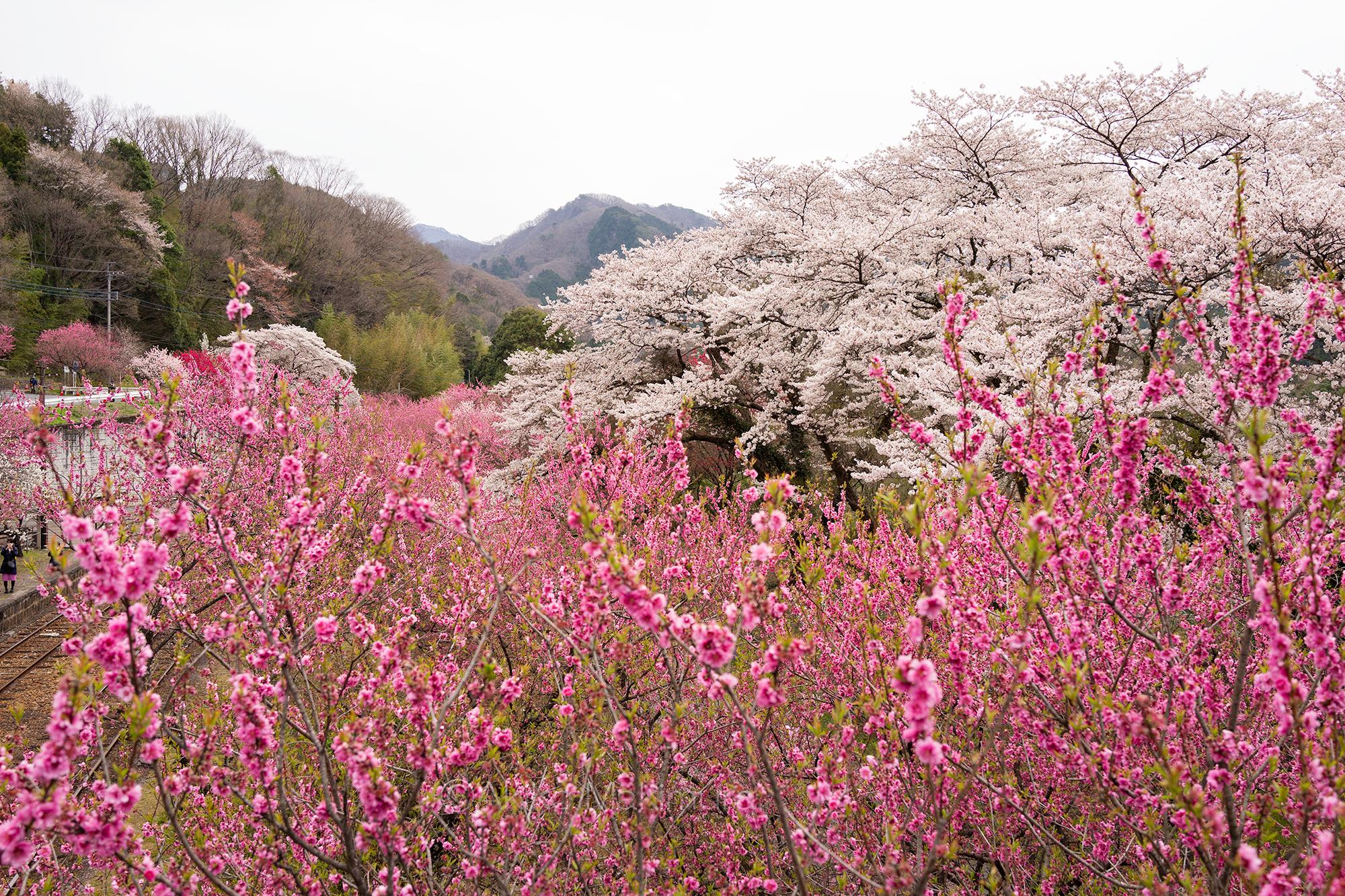 花桃の植樹から20年 山間の桃源郷 わたらせ渓谷鉄道の旅5