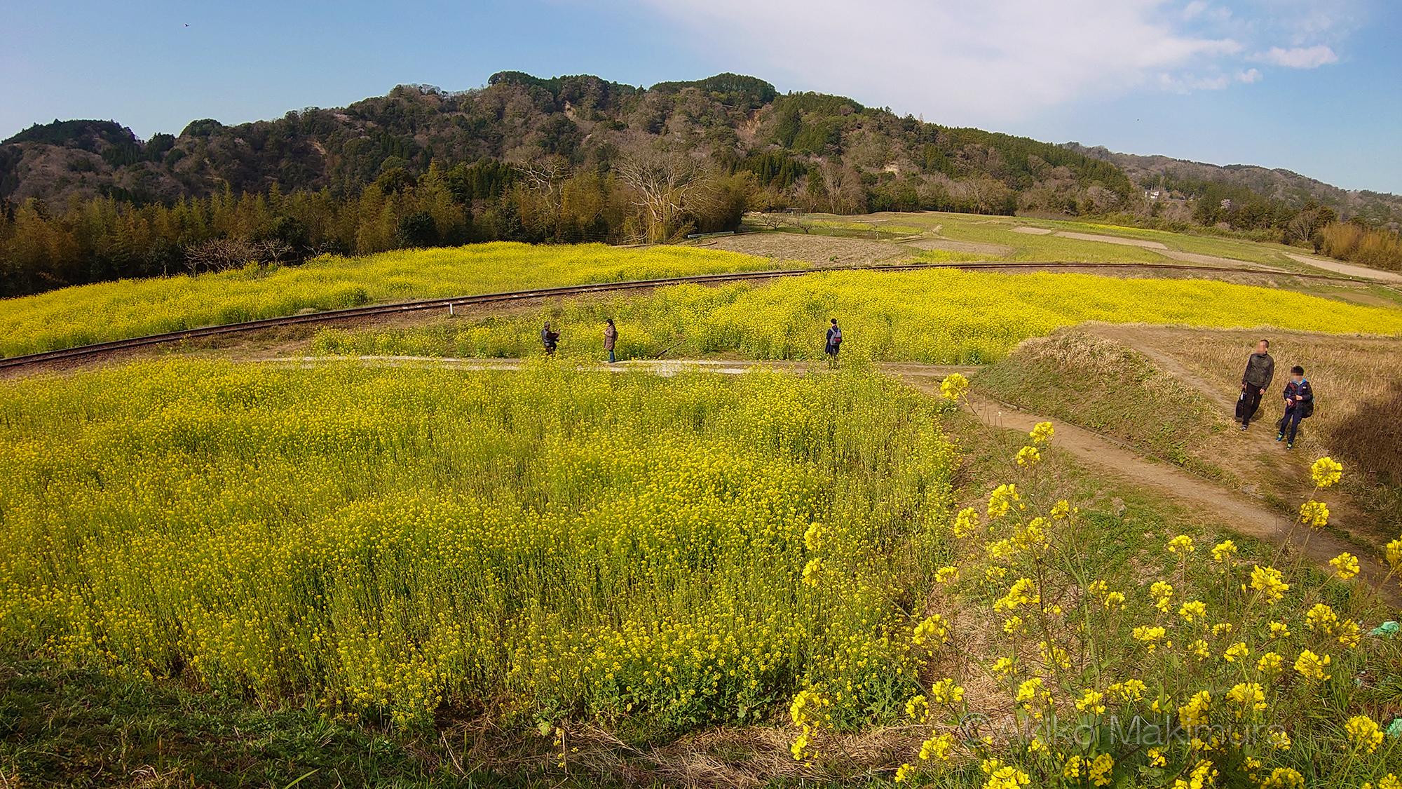 春の小湊鉄道 なの花畑をゆく