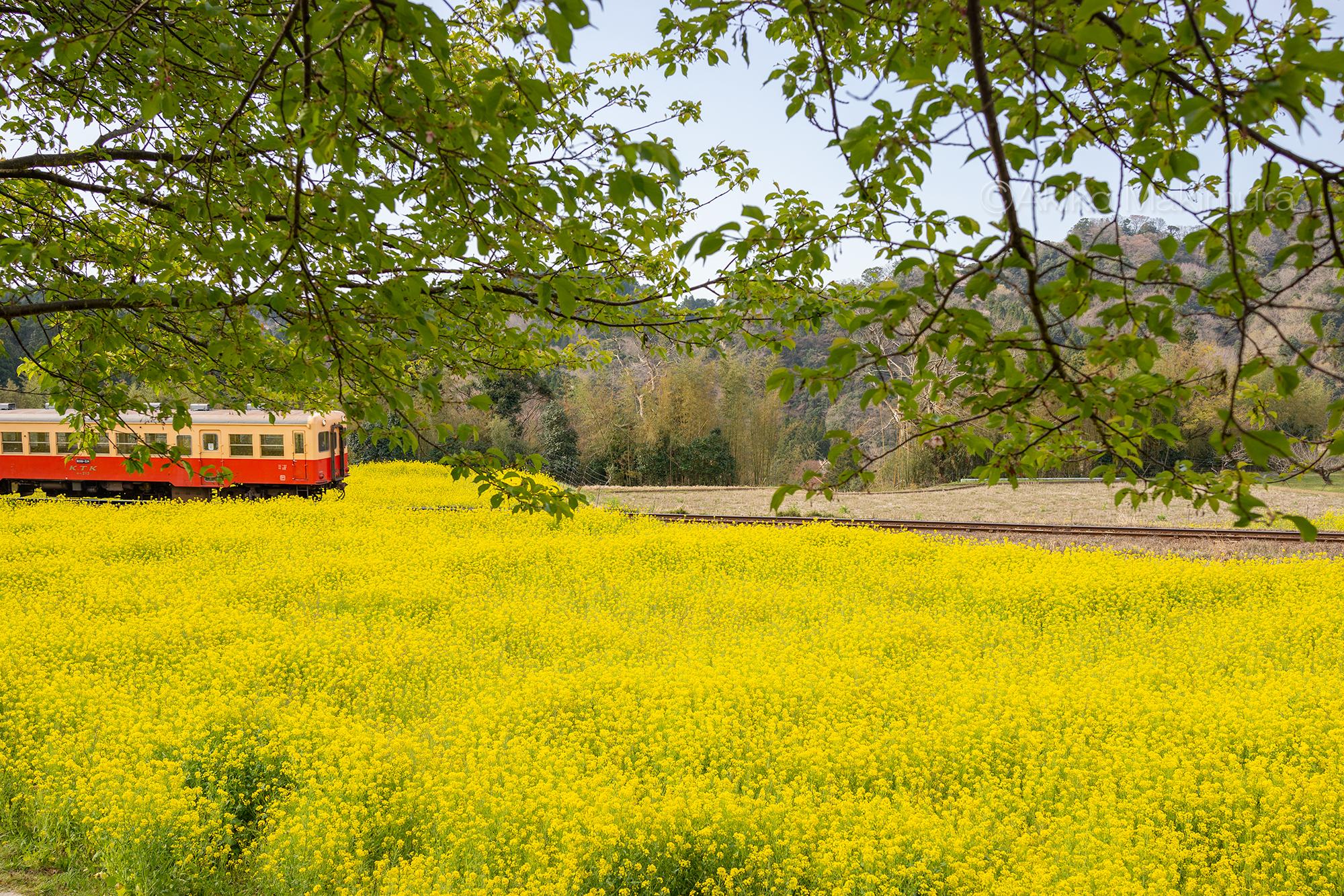菜の花畑をかけぬける小湊鉄道